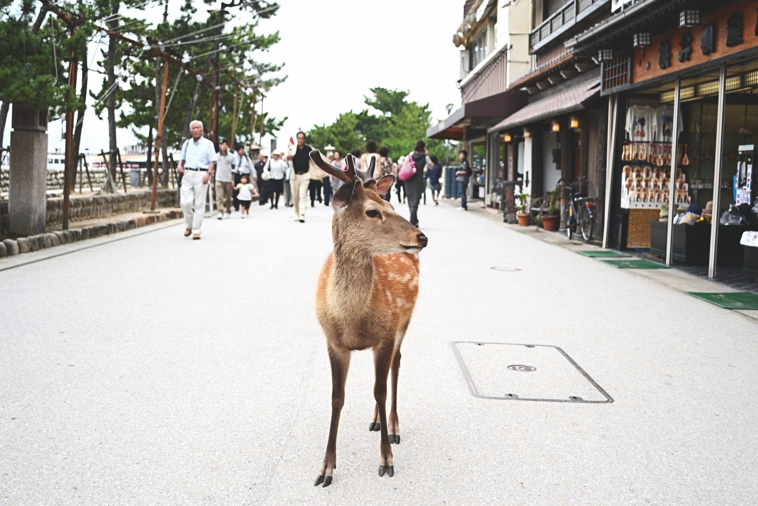 A deer at Miyajima