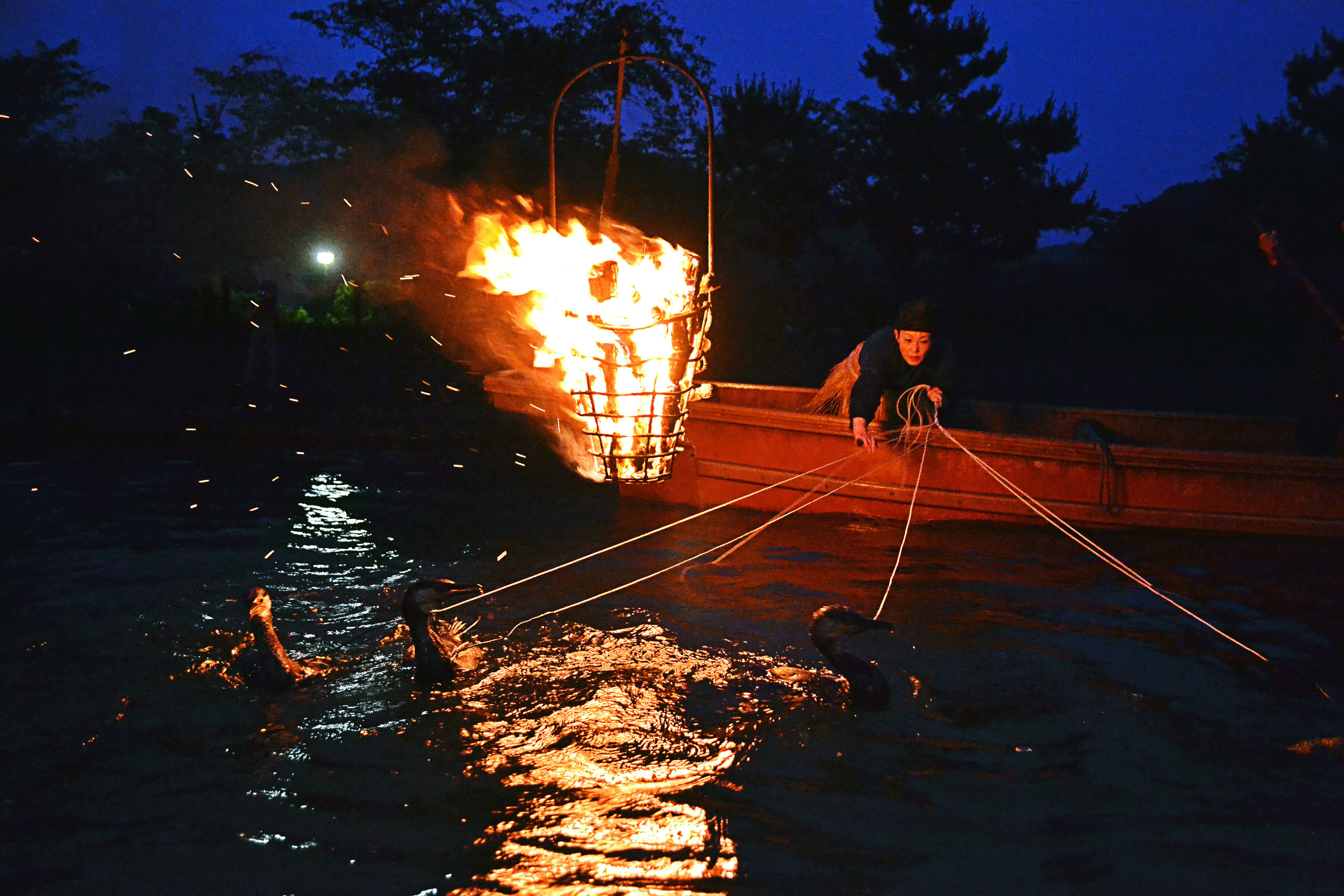 Comorant fishing in Uji, Kyoto