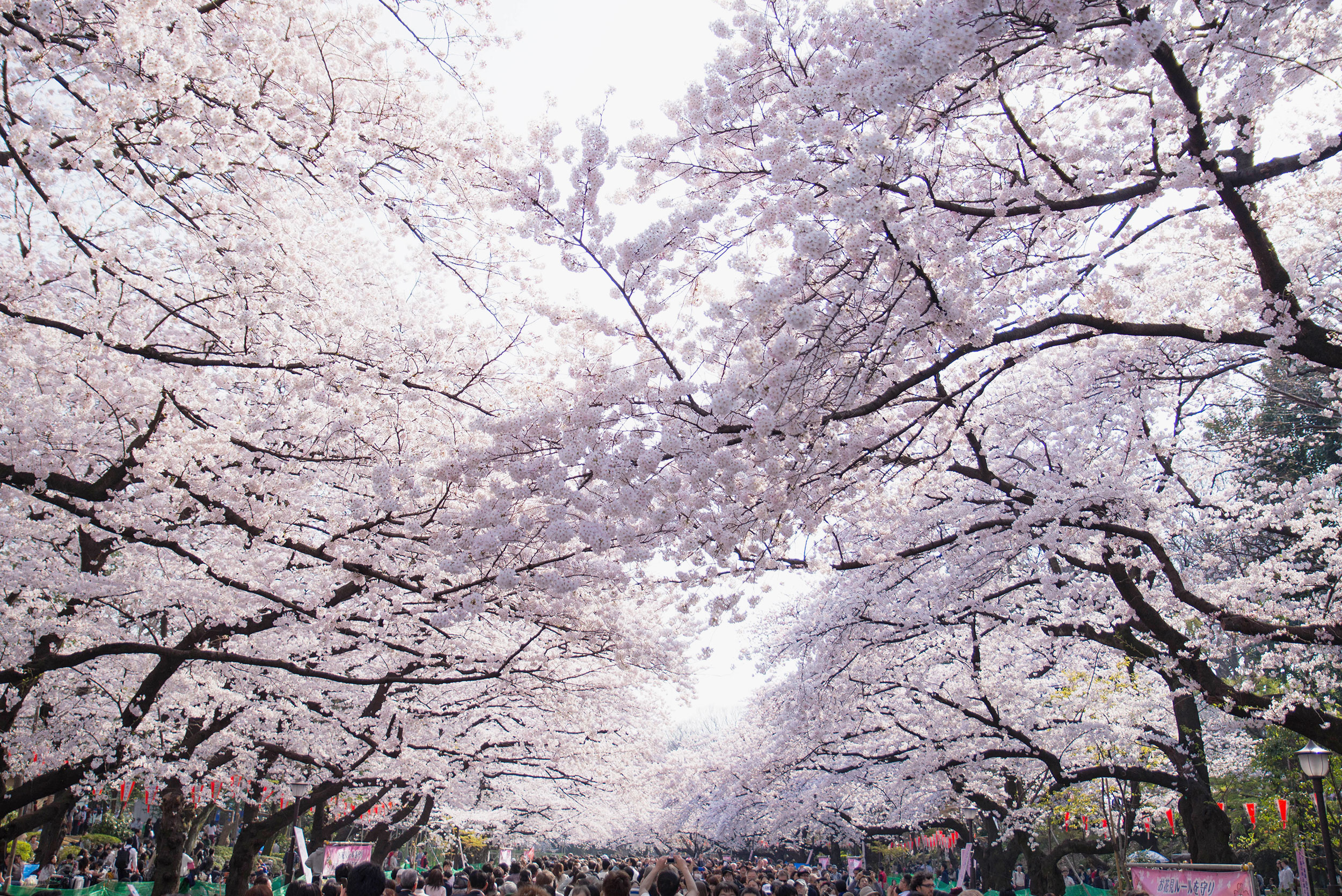 Cherry blossoms over a main walkway in Ueno Park