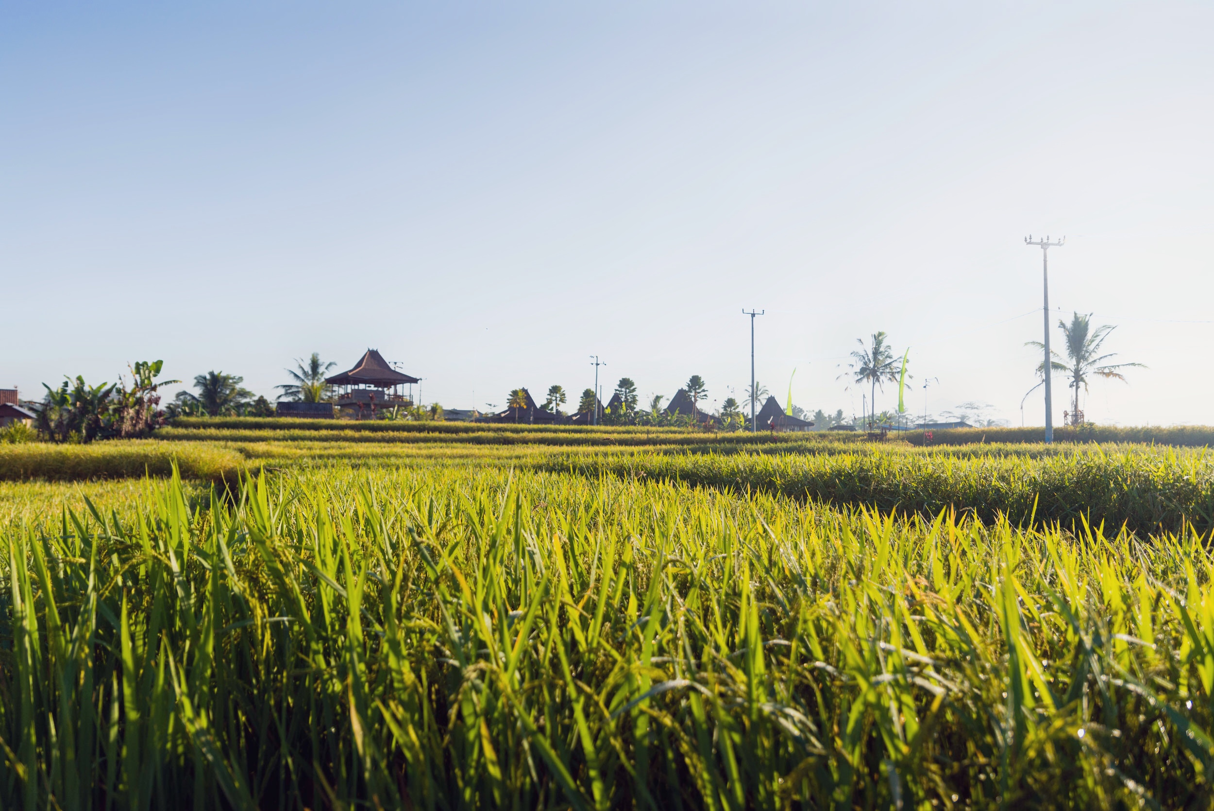 Rice fields outside of Nau Villas, Ubud, in Bali