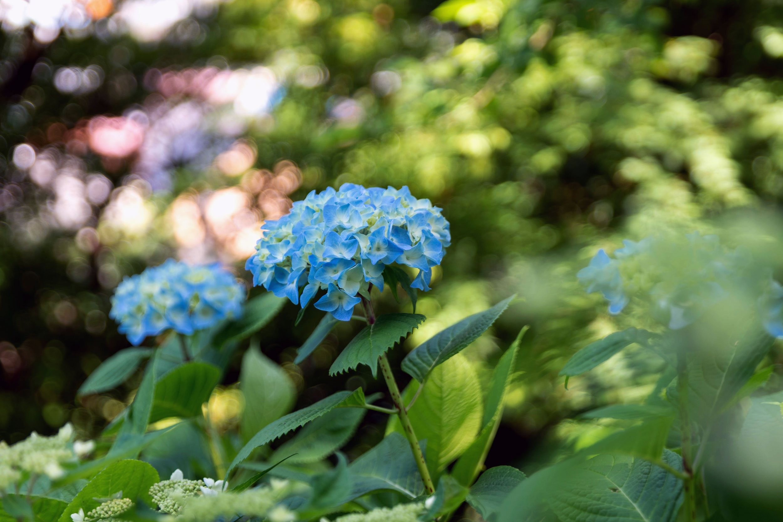 Ajisai flowers (Hydrangea), popular in late spring/early summer, on the Hase-dera temple grounds