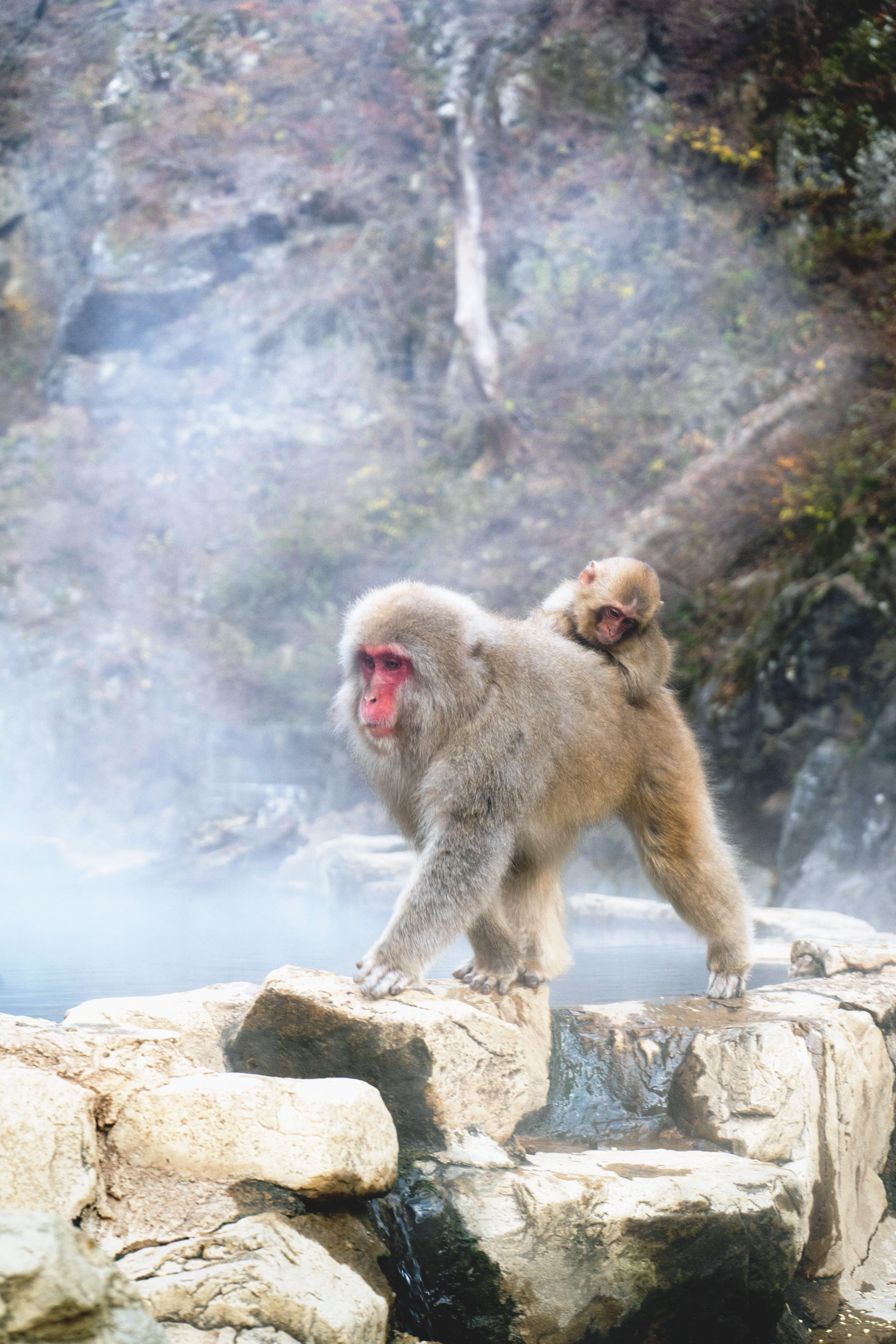 A monkey and her baby walk along an onsen hot spring at Jigokudani Monkey Park.