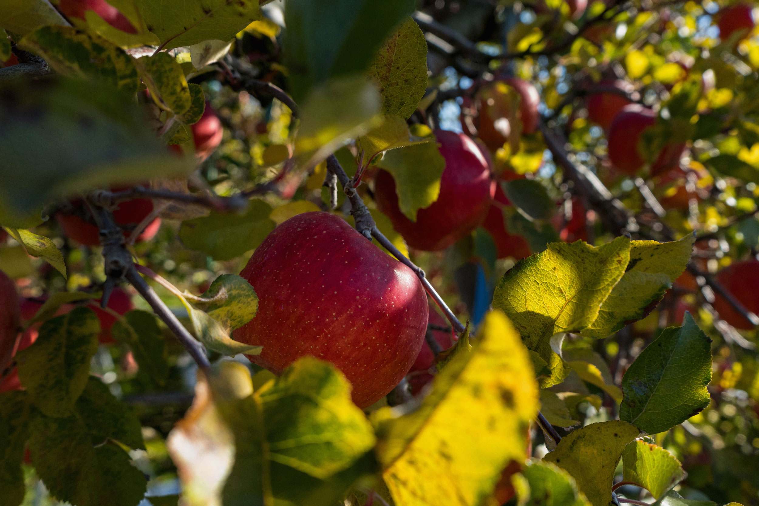 Apples on the tree at Ono Ringo-en