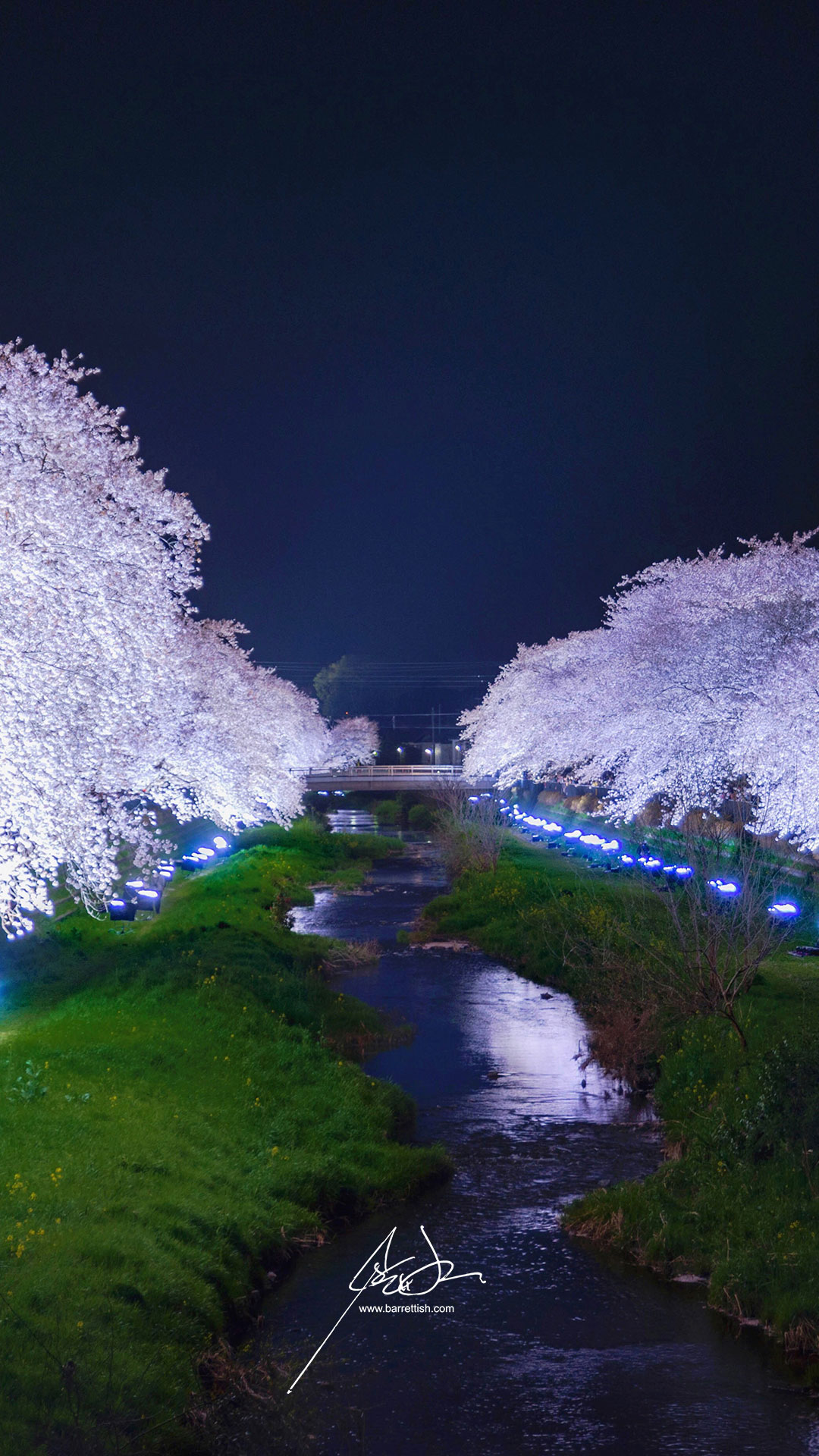 Glowing cherry blossoms in Nogawa, Tokyo for a 3-hour light up festival   DOWNLOAD