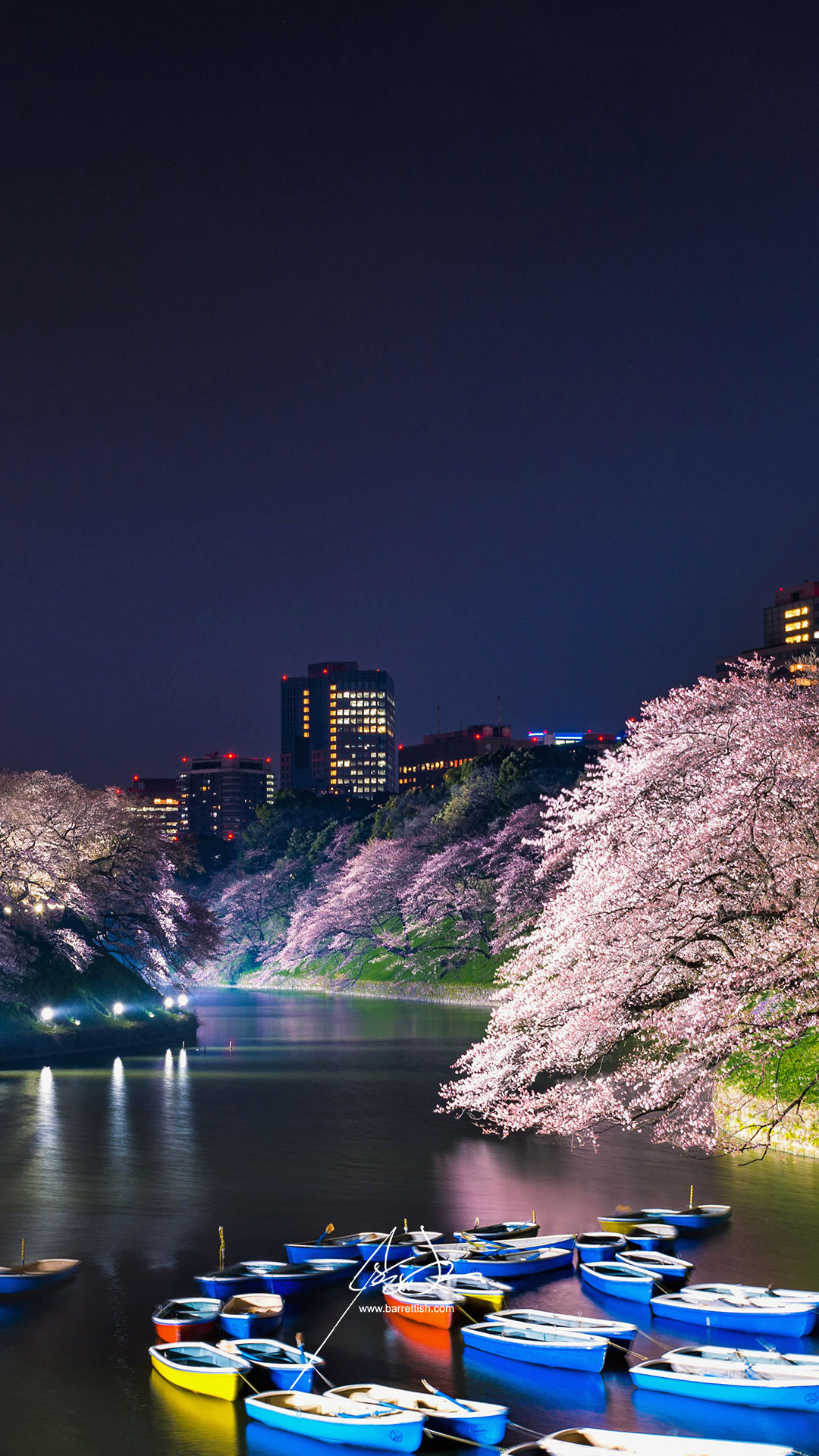 Cherry blossoms hanging over Chidorigafuchi in Tokyo   DOWNLOAD