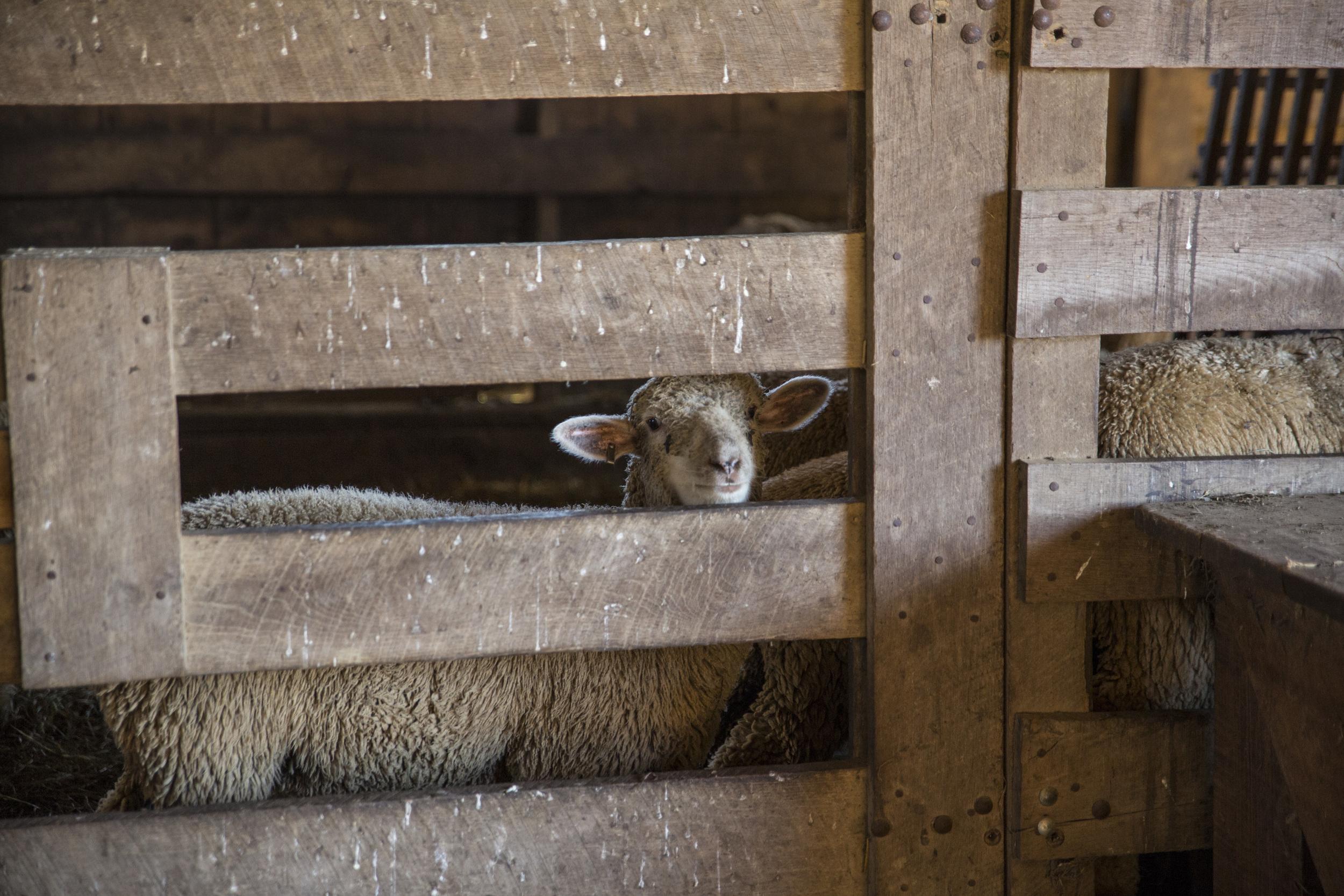 sheep-farm-photo.jpg