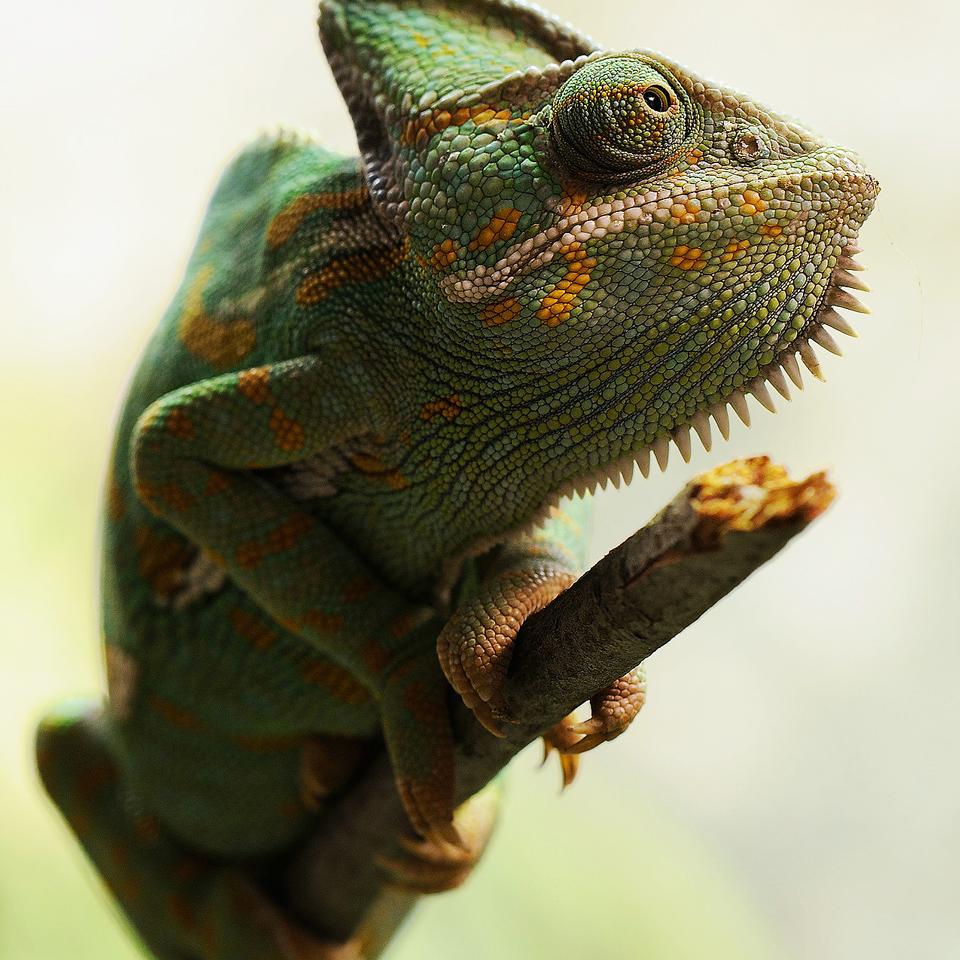 yemen-chameleon-233095_1920_960.png