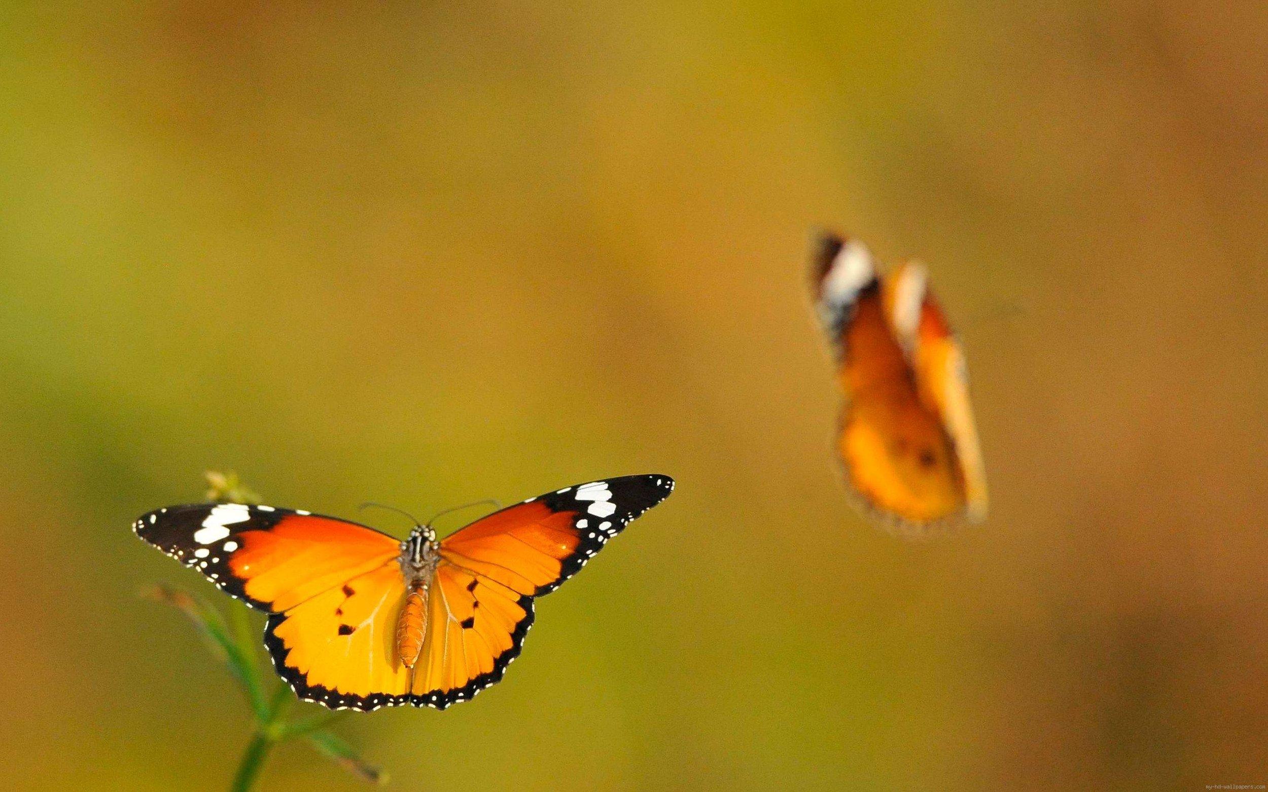 schmetterlinge-butterfly-couple.jpg