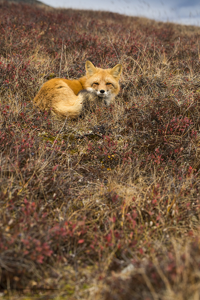 Red Fox, 2017