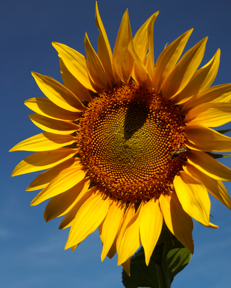 Magestic Sunflowern in Moncault, Gascony,France.