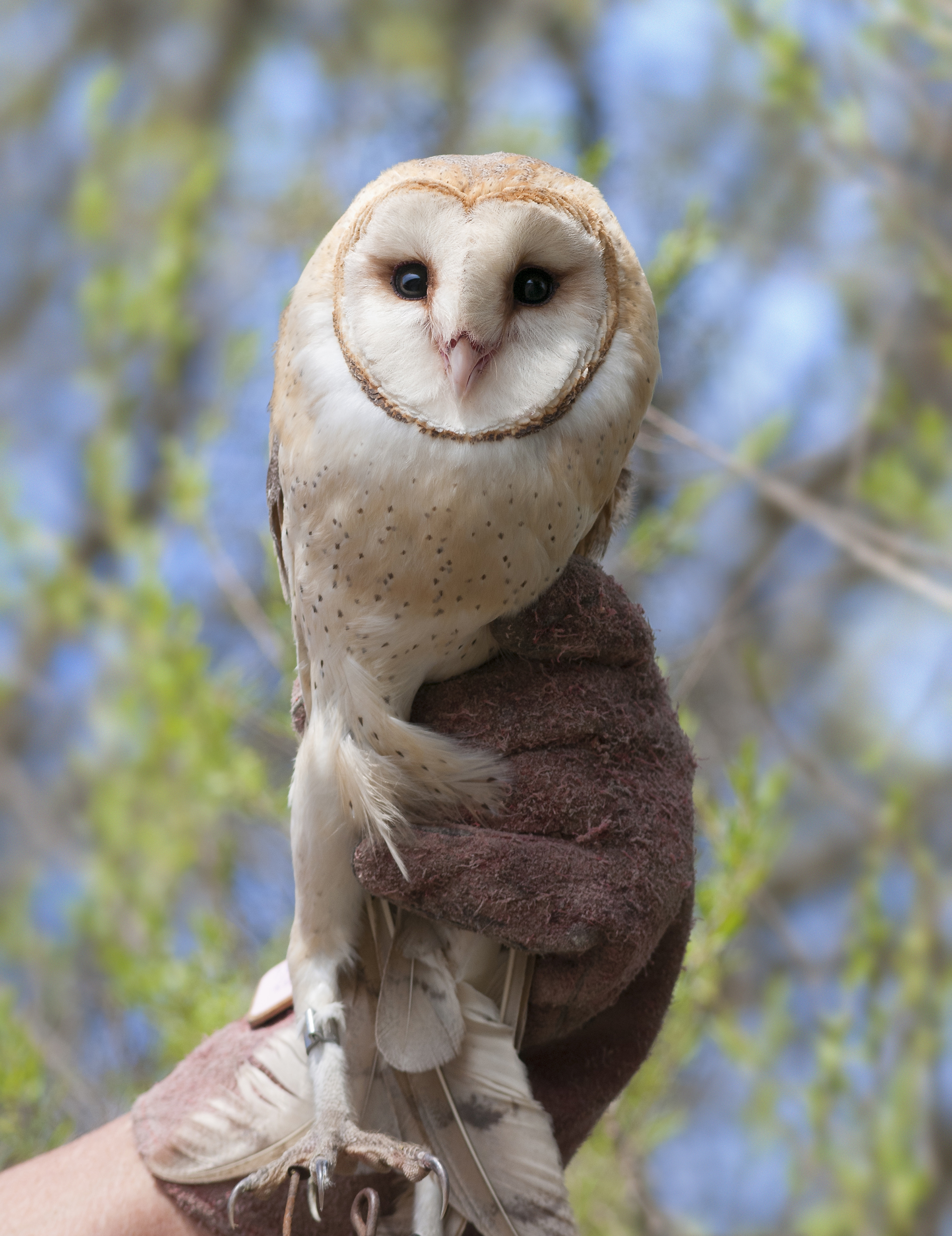 Just banded adult Barn Owl.