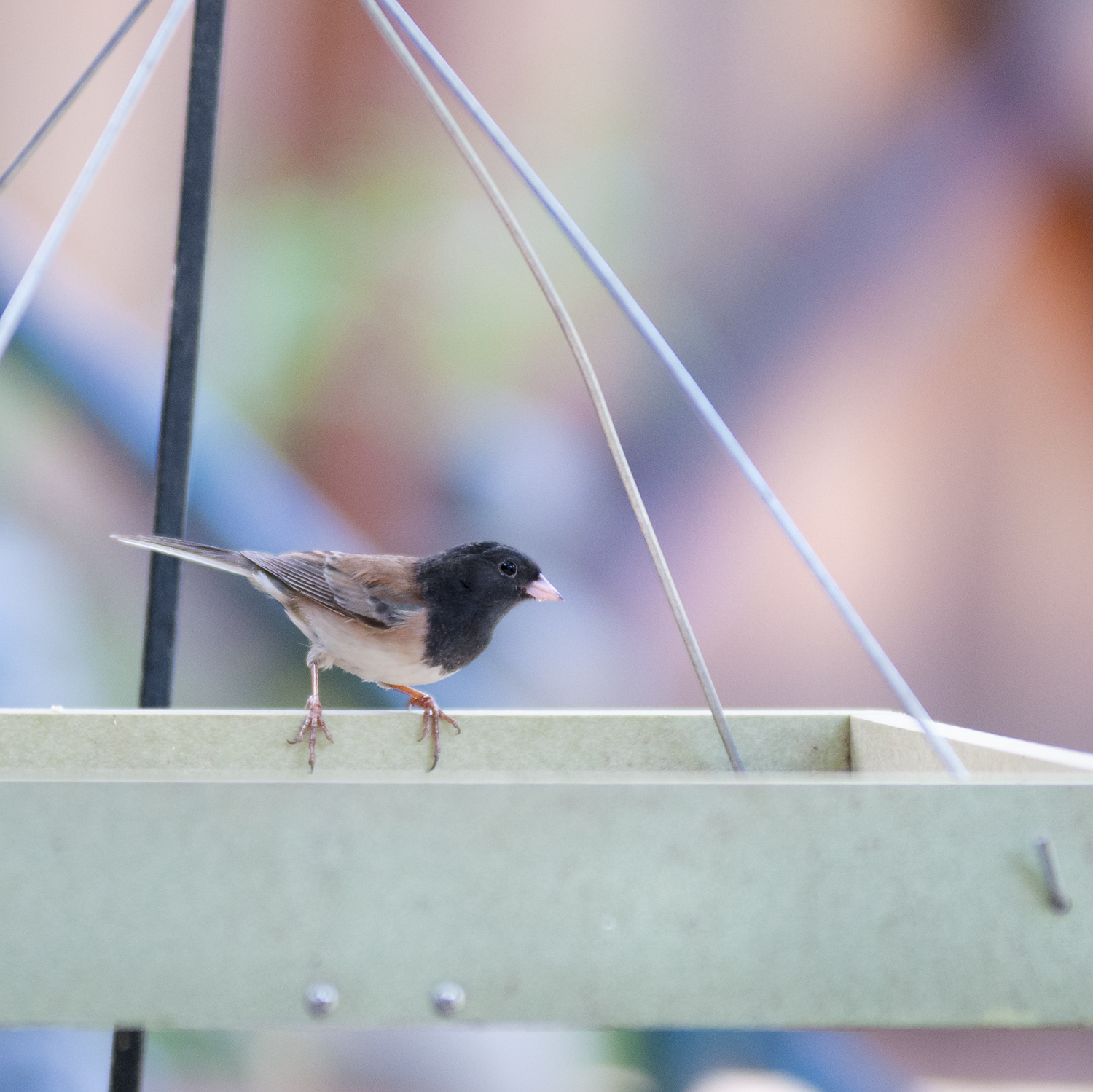 An adult male Dark-eyed Junco at a low-hanging tray feeder in Westlake Village.