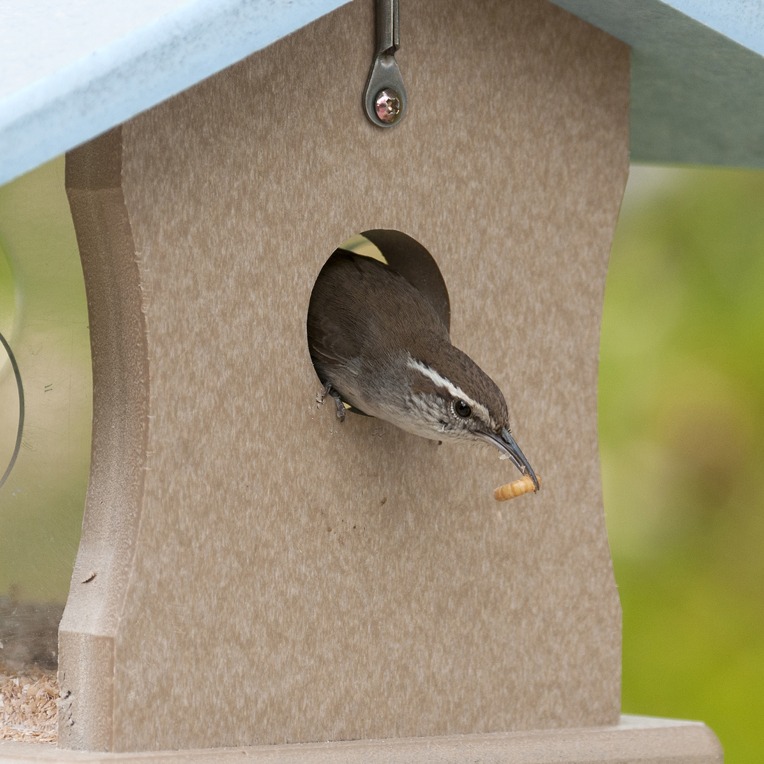 This Beverly Hills residing Bewick's Wren happily accepts tasty treats offered in a meal worm feeder.
