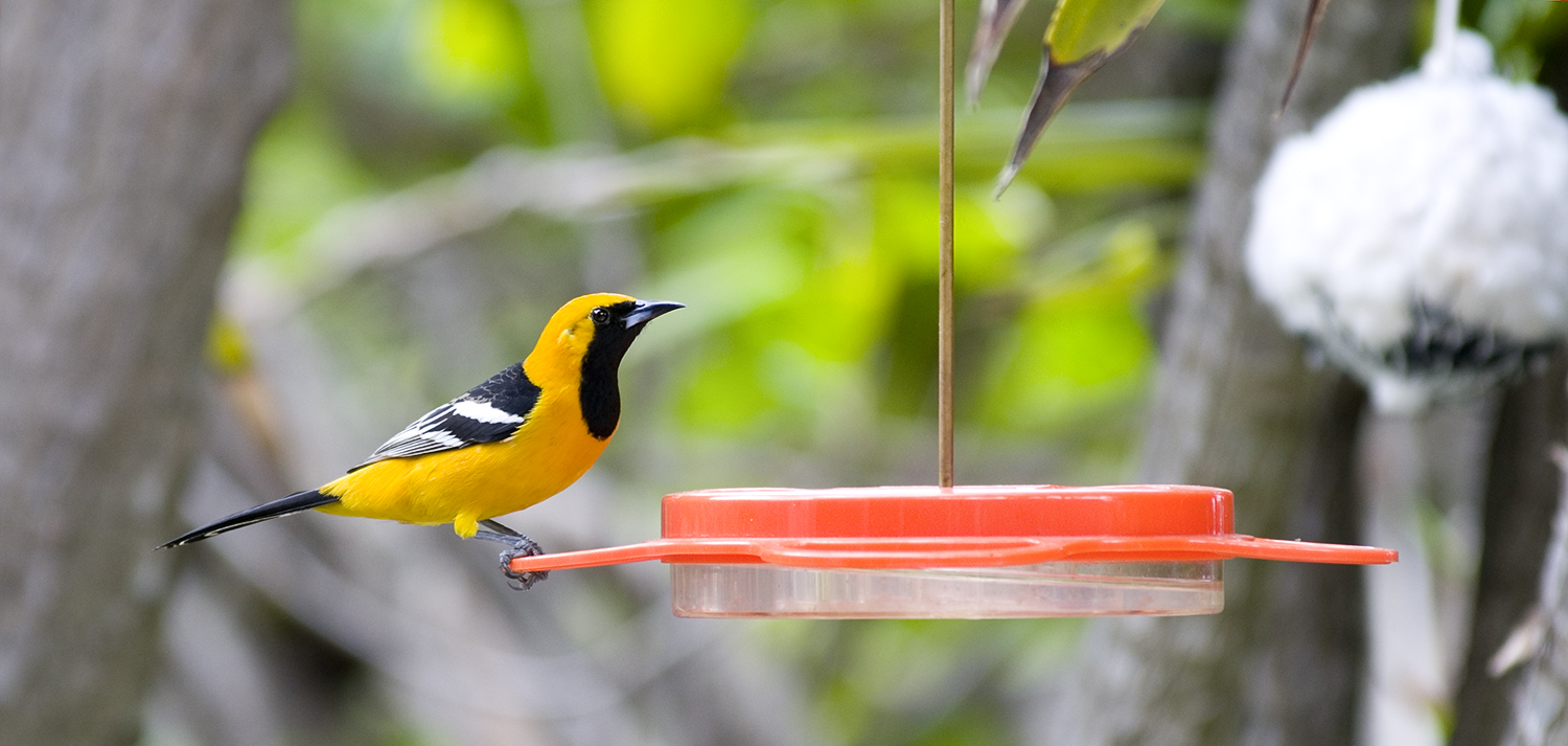 Hooded Oriole at nectar feeder in   the Studio City with nesting cotton ball in background.