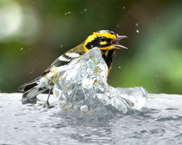 Townsend's Warbler having a good soak.