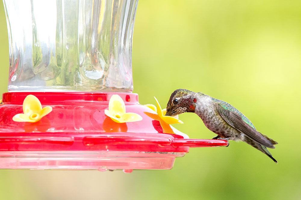 Anna's Hummingbird enjoying our nectar in Glendale