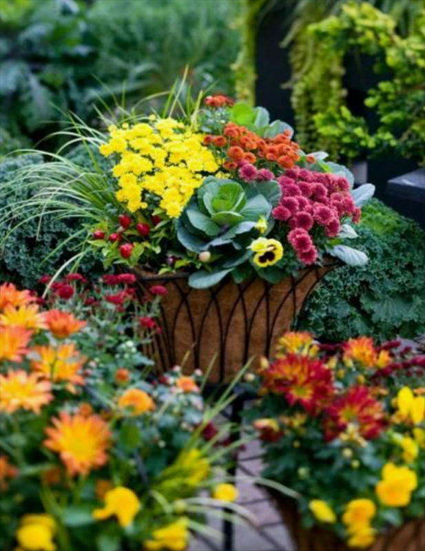 from  Midwest Living.  Looks like these mums were added to some pansies and green cabbage into lined wire containers.