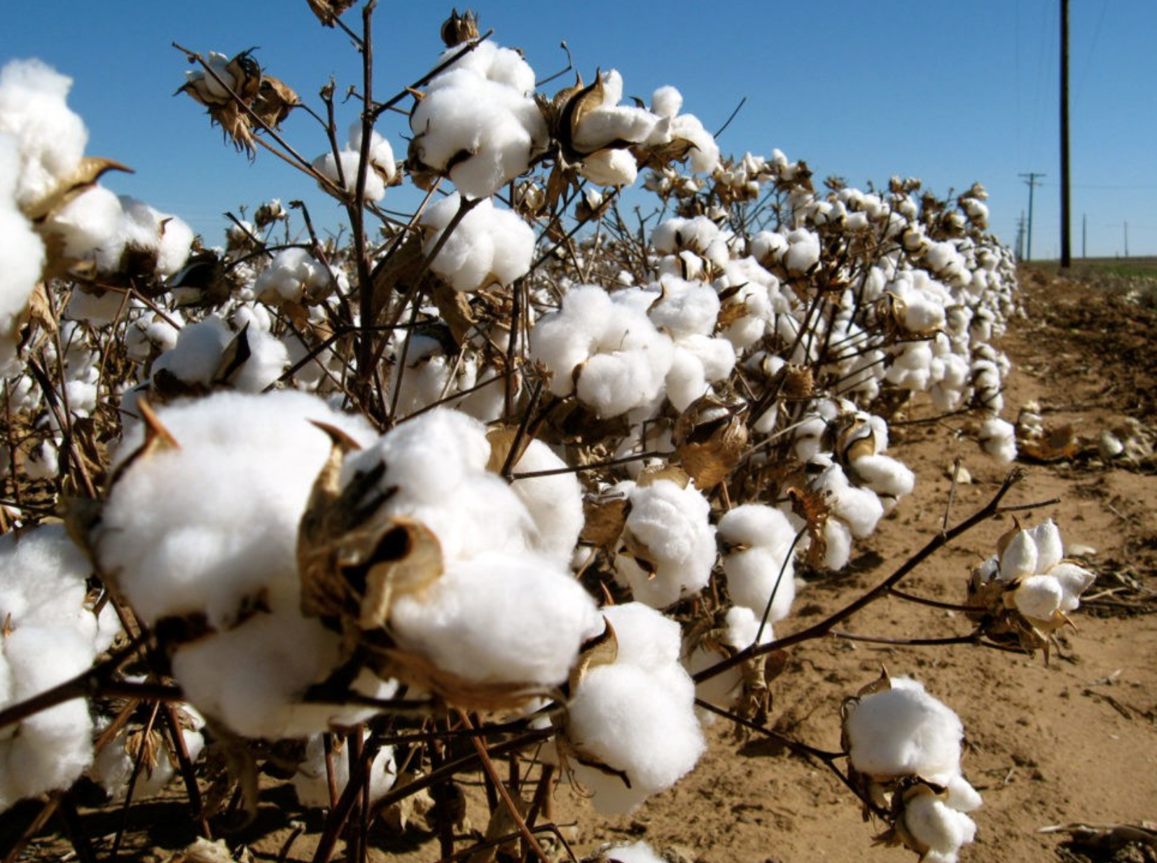 cotton plant, photo from  Ecouterre
