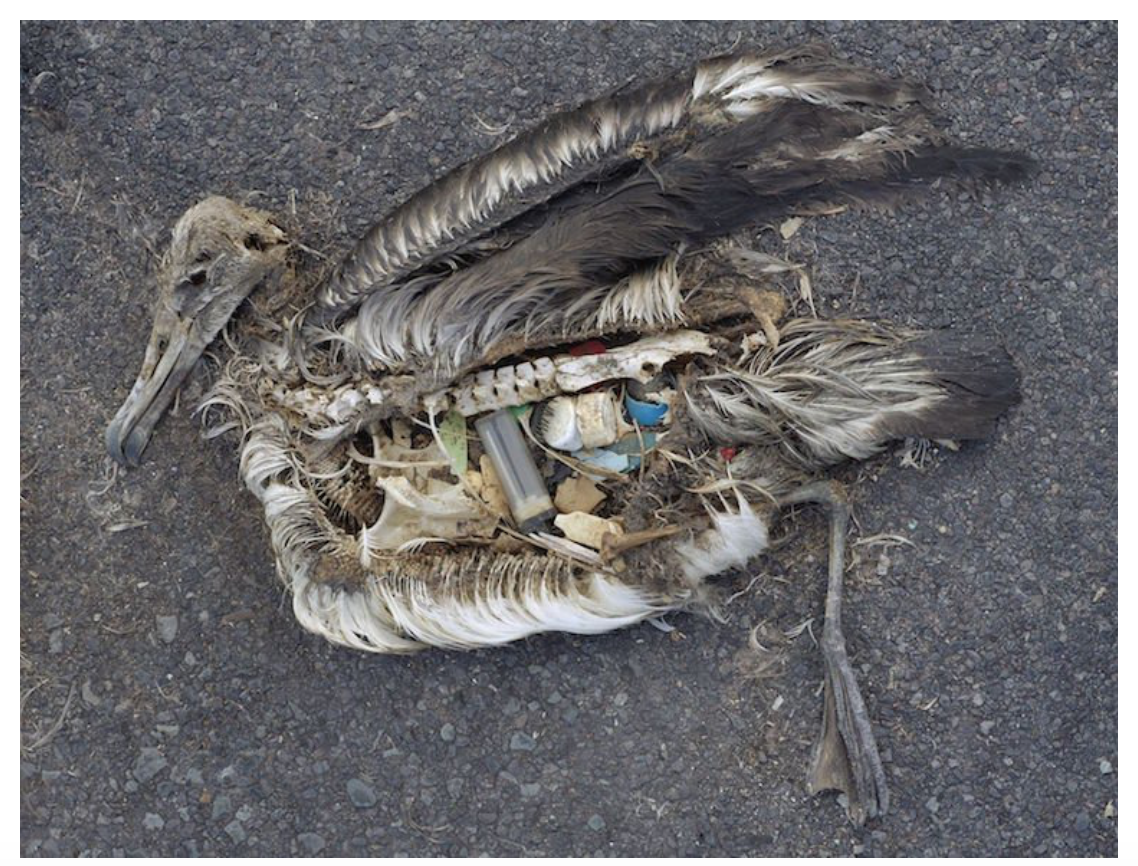 albatross filled with trash (photo: onegreenplanet.com)