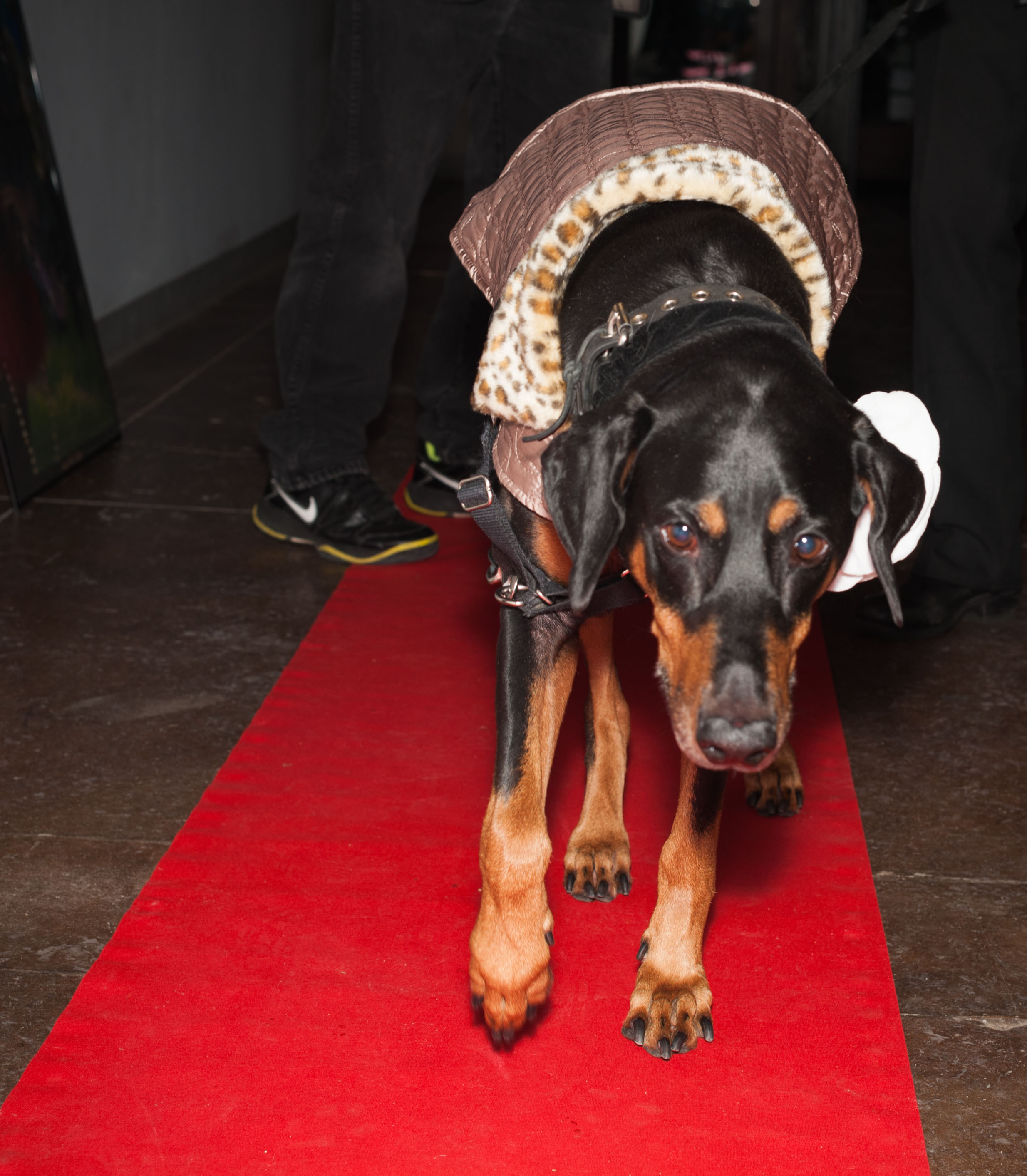 Ruby Walks the Red Carpet / Trylon microcinema / Minneapolis, Minnesota / November 20th, 2014 / Photo by Gamini Kumara