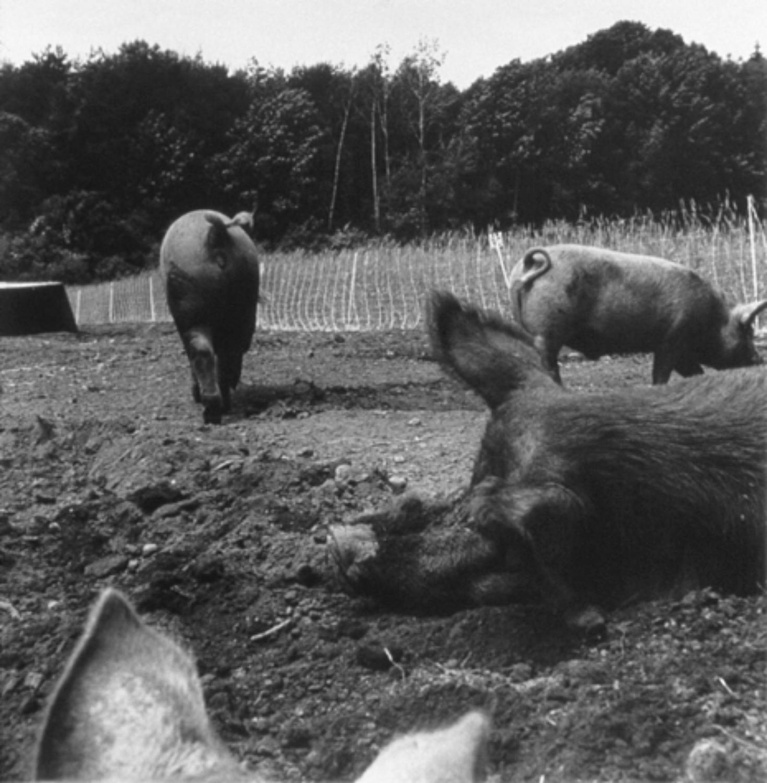 pigs 1998.jpg