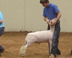 2012 Belt Buckle Bonanza - Champion Southdown (Day 2) and Reserve Champion Southdown (Day 1)   Shown by Kyle Ramsey