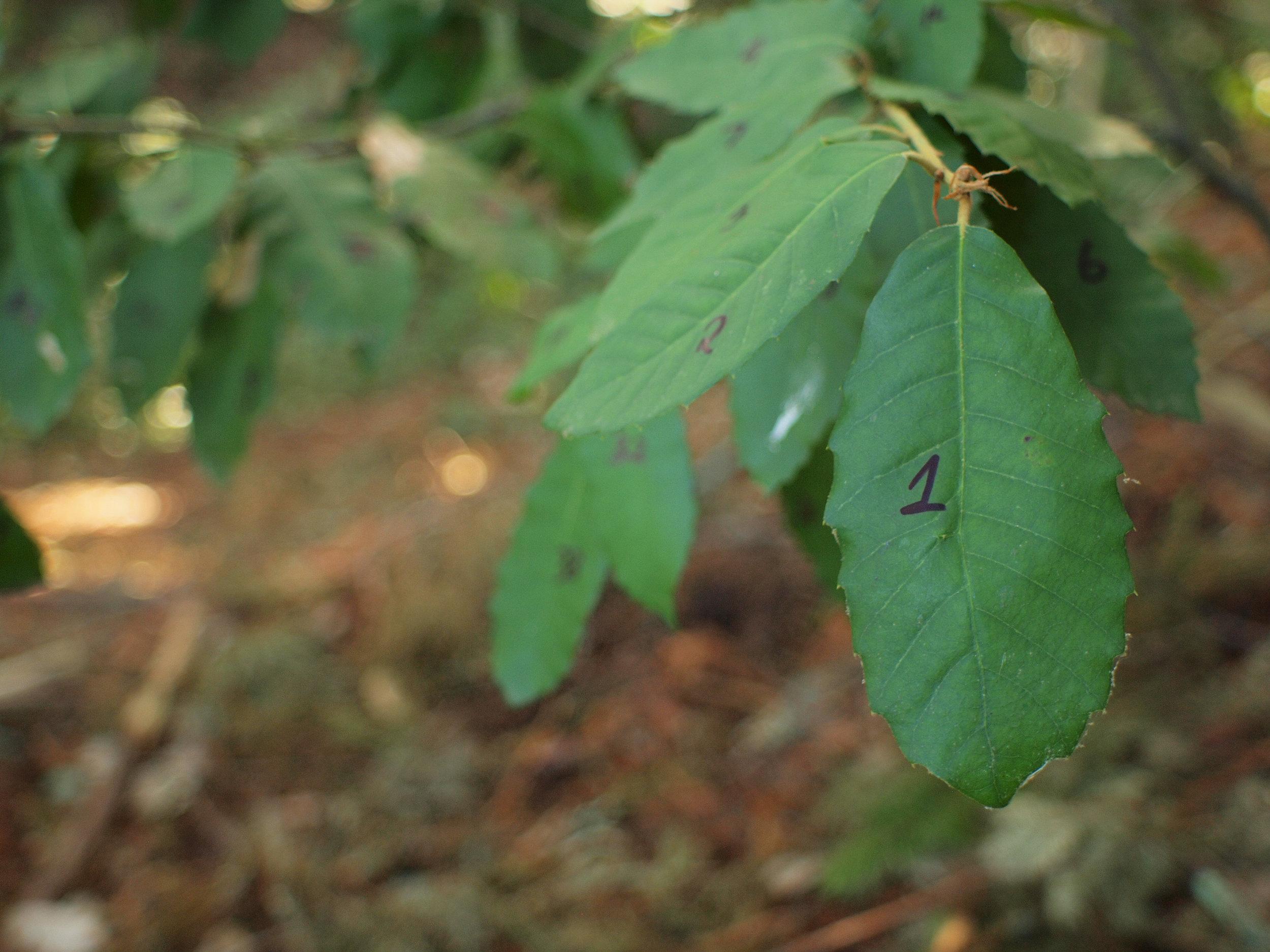 DonN, 412 Tan Oak leaves 18, 021412.jpg