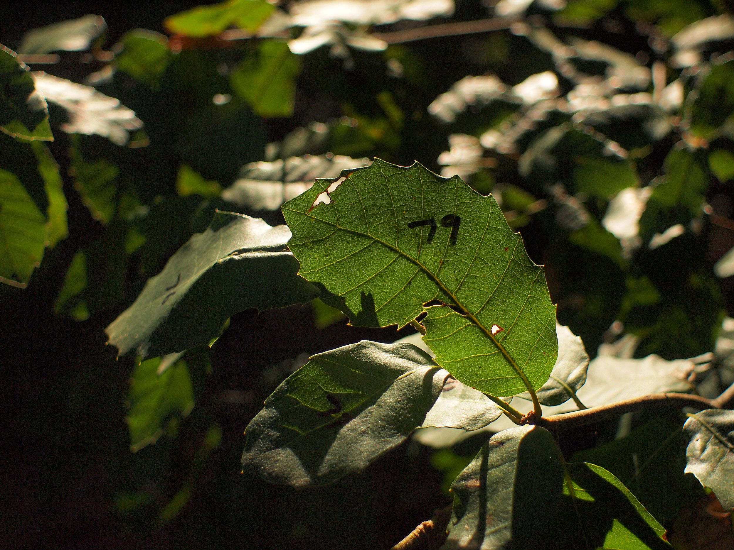 DonN, 412 Tan Oak leaves 8, 021412.jpg