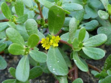 Purslane, Portulaca oleracea