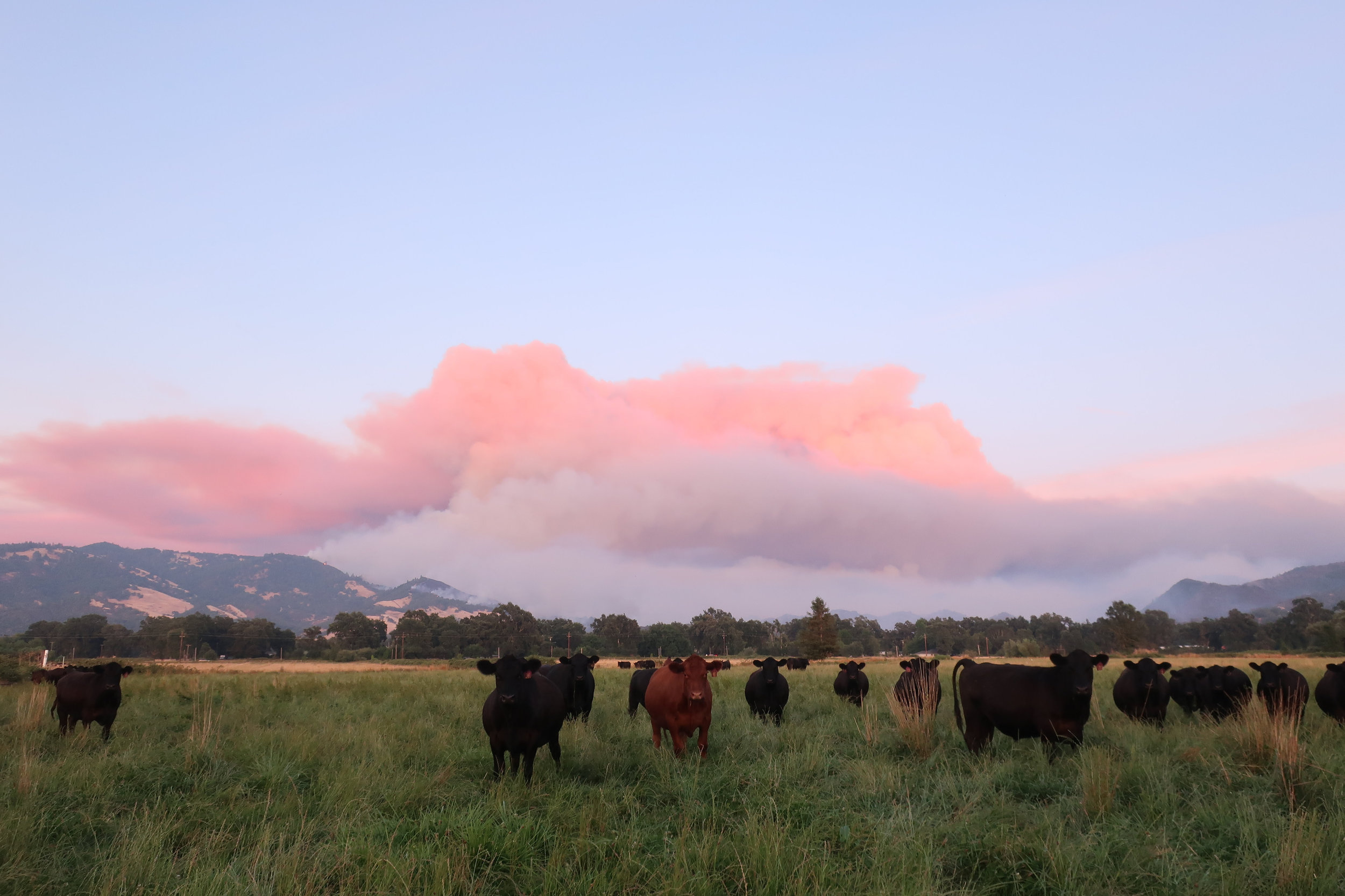Cattle and fire.jpg