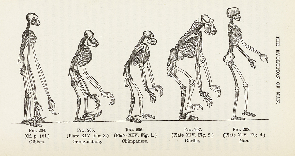 The underlying philosophical assumption of evolution is that if structures are similar from one species to the next, it proves that those species are related. But until the premise can be demonstrated, lining up similar skeletons does nothing to prove evolution has taken place.