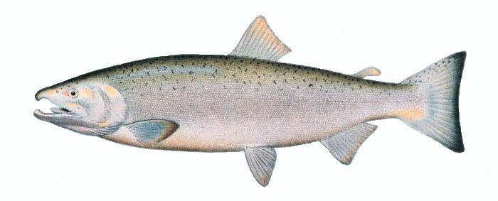 Coho Salmon   Science Name: Oncorhynchus Kisutch  Other Names: Silver Salmon, Blueback  Ideal Temp: 53 to 58  World Record: 33lb. 4 ounces. New York State  Environment: Coastal, Stream, Lake  Techniques: Medium Casting, Medium Fly  Range: Great Lakes and western North America
