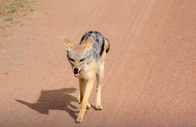Silver-Backed Jackal in The Serengeti (© Kaitlyn Ellison)
