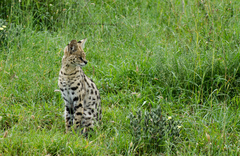 The observant serval (© Kaitlyn Ellison)