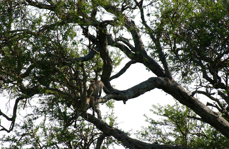 Courting leopards (© Kaitlyn Ellison)