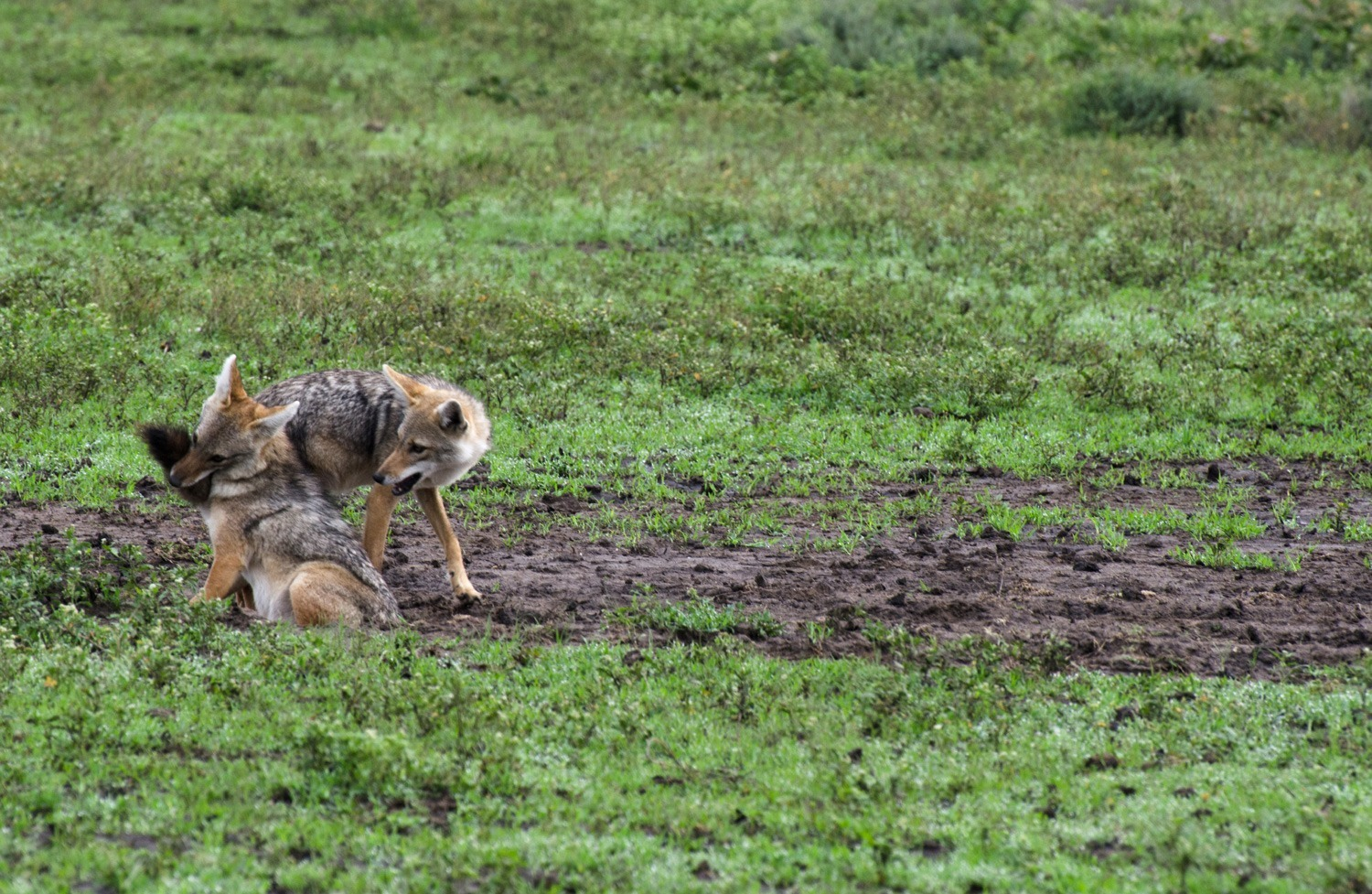 Jackal playtime (on Small Things in Big Numbers)