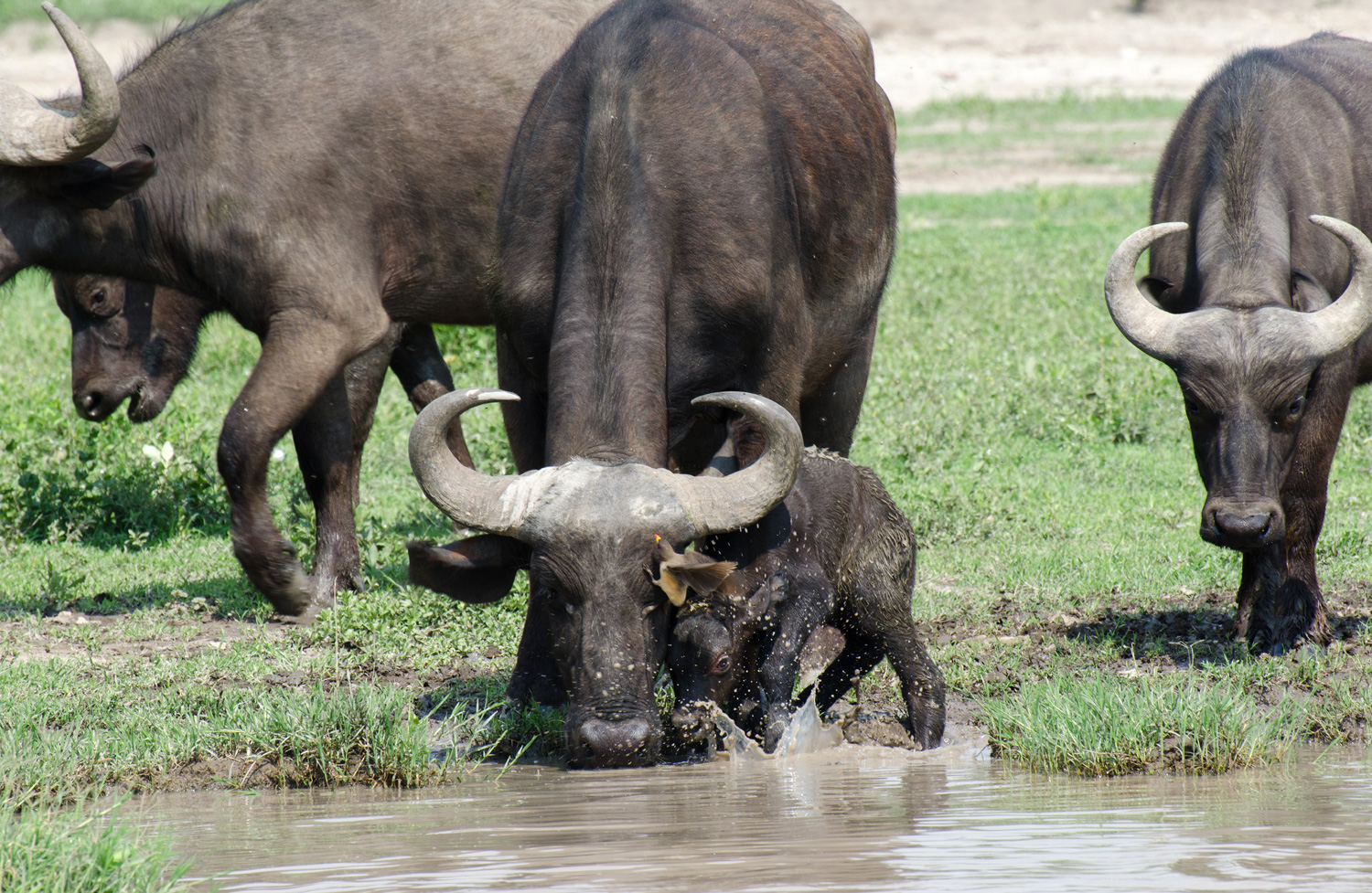 Baby cape buffalo (on Small Things in Big Numbers)