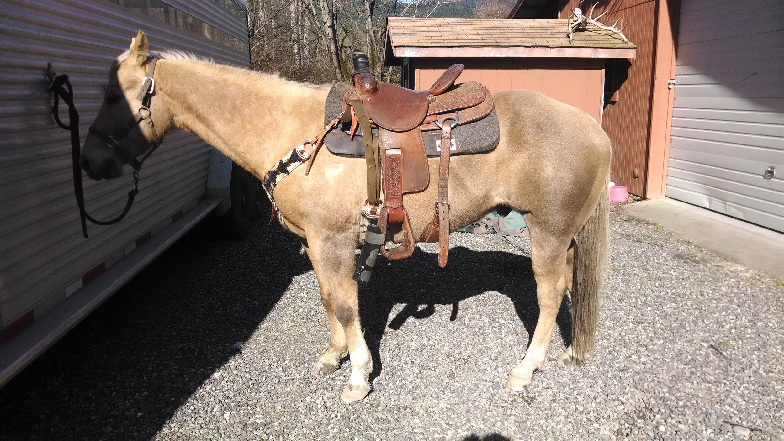 My little heel horse...Teddy. With he new cinch and breast collar shown in cinch section