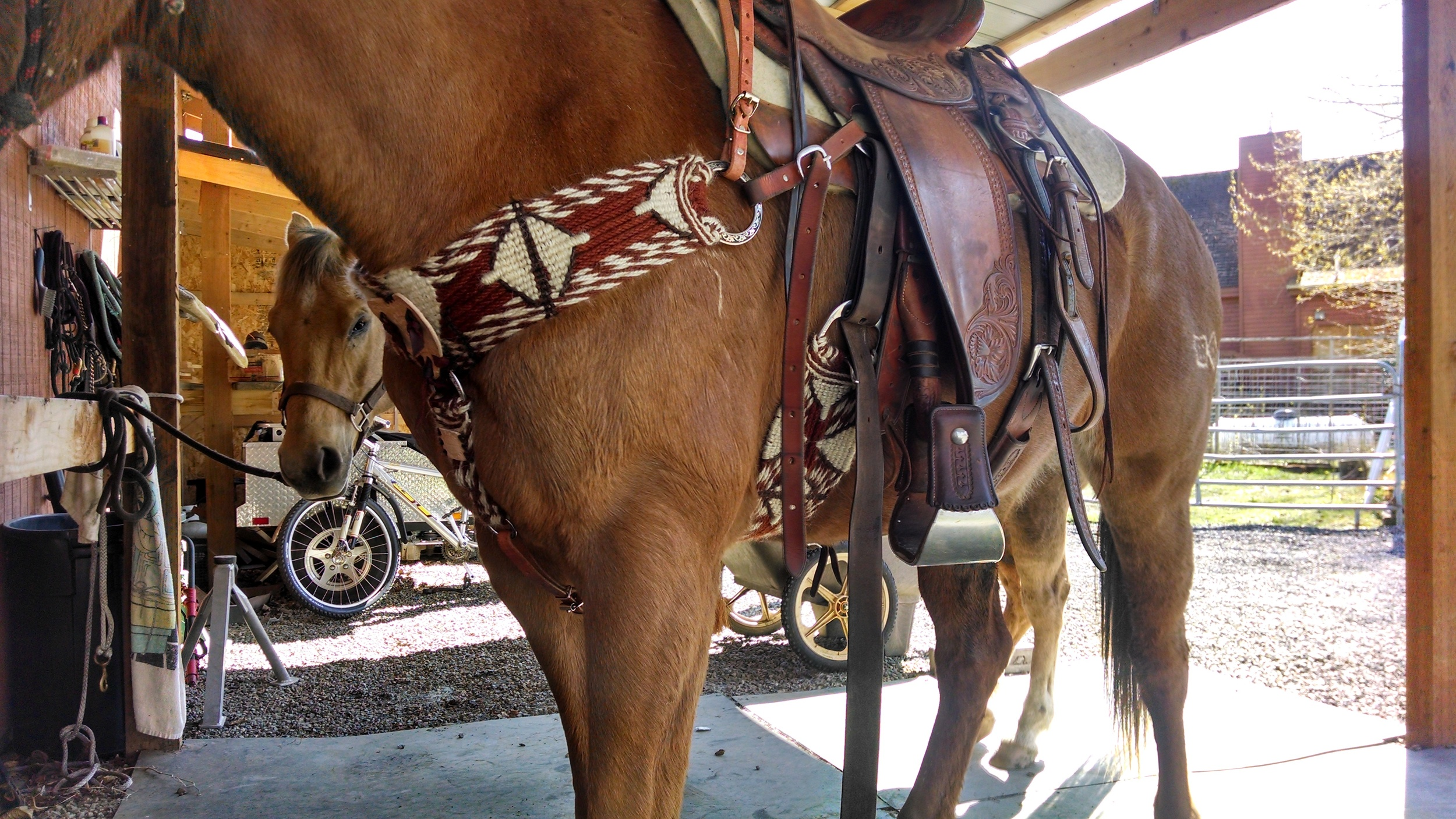 My newest mule from Coyote mule company...Ida...A Pair A Dice bred and raised Molly. Wearing my Carrey Schwartz Wade saddle with a new cinch and pulling style breast collar I favor in the mountains, sorry about the straps in the way.. Shown for sale in the cinch section.