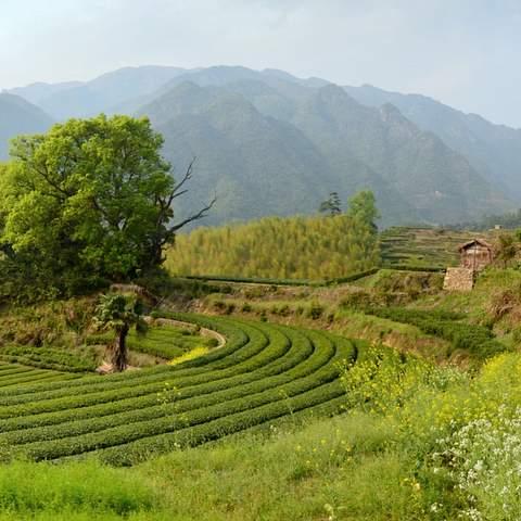 green tea garden impression by cha-shifu (1).JPG