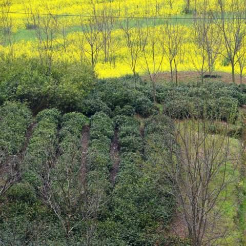 green tea garden impression by cha-shifu (2).JPG