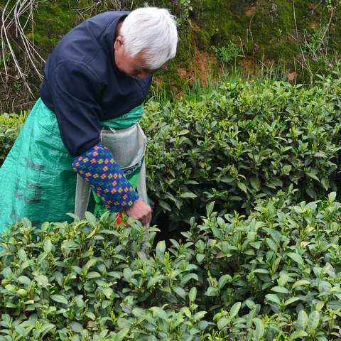 green tea garden impression by cha-shifu (4).JPG