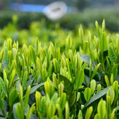 green tea garden impression by cha-shifu (5).JPG