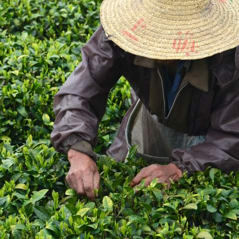 green tea garden impression by cha-shifu (8).JPG