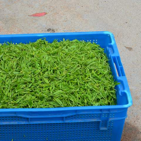 green tea garden impression by cha-shifu (12).JPG