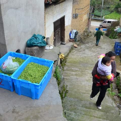 green tea garden impression by cha-shifu (15).JPG