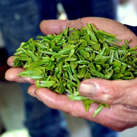 green tea garden impression by cha-shifu (16).JPG