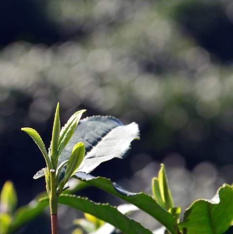 green tea garden impression by cha-shifu (19).JPG