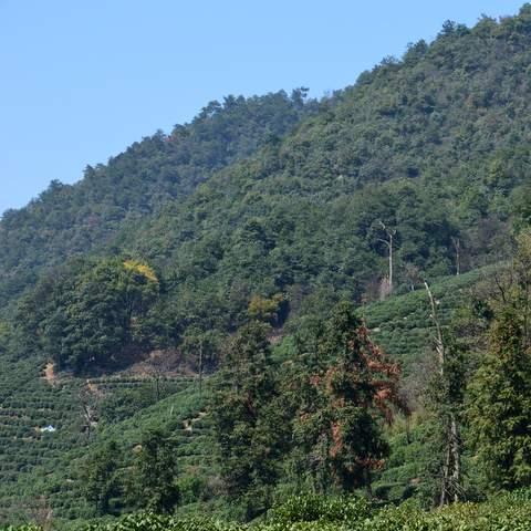 green tea garden impression by cha-shifu (18).JPG