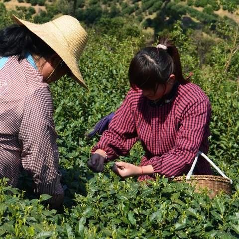 green tea garden impression by cha-shifu (20).JPG